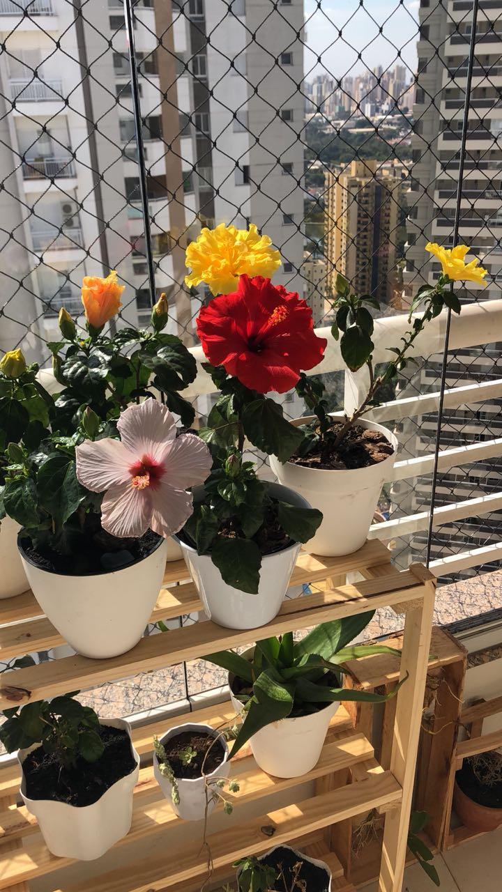 como cuidar de hibisco de vaso em apartamento12